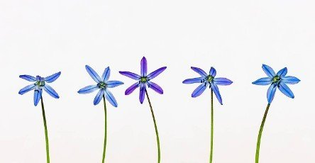 A bluestar flower on a white background