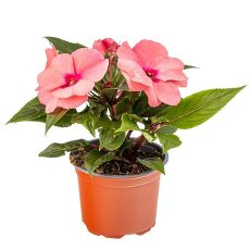 Impatiens walleriana or Busy lizzie in flower pot on white background