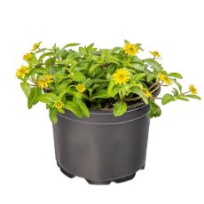 Potted Sanvitalia procumbens with the common name of Mexican creeping zinnia on white background