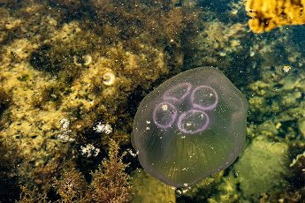 05.04.2020., Pula, Croatia - jellyfish; ; sea; marine animal; in the Adriatic Sea. Photo: Srecko Niketic/PIXSELL