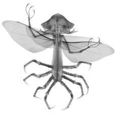 Alien insect hybrid, X-ray