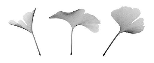 Ginkgo biloba leaves, X-ray