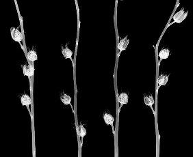 Dried physalis, X-ray