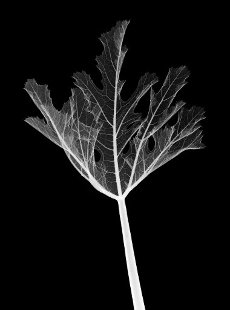 Courgette leaf, X-ray