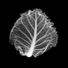 Cabbage leaf, X-ray