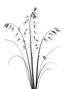 Bluebells (Hyacinthoides non-scripta), X-ray