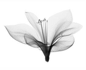 Amaryllis, X-ray