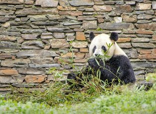Giant pandas play at the China Conservation and Research Center for Giant Panda Shenshuping Base in Ngawa Tibetan and Qiang autonomous prefecture, southwest China\'s Sichuan province, 1st October 2020. Pictured: GV,General View Ref: SPL5190297