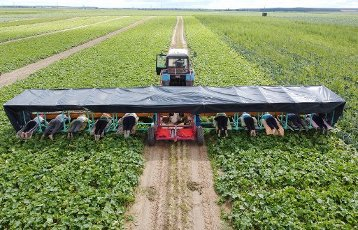 GRODNO REGION, BELARUS - JULY 13, 2020: A tractor tows an attachment carrying cucumber pickers as they manually harvest cucumbers in the fields of the Svisloch horticultural consumer cooperative near the town of Svisloch in western Belarus. The