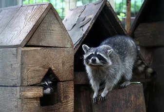 MOSCOW REGION, RUSSIA - AUGUST 12, 2020: A raccoon kept in a temporary holding facility for wild animals run by Moscow\'s Natural Resources and Environmental Protection Department in the village of Andreikovo. Animals are brought here for variuos
