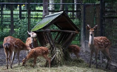 MOSCOW REGION, RUSSIA - AUGUST 12, 2020: Spotted deer kept in a temporary holding facility for wild animals run by Moscow\'s Natural Resources and Environmental Protection Department in the village of Andreikovo. Animals are brought here for variuos