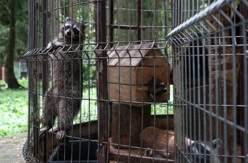 MOSCOW REGION, RUSSIA - AUGUST 12, 2020: Raccoons kept in a temporary holding facility for wild animals run by Moscow\'s Natural Resources and Environmental Protection Department in the village of Andreikovo. Animals are brought here for variuos