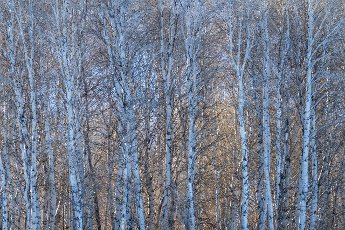 USA, Idaho, Bellevue, Birch trees forest