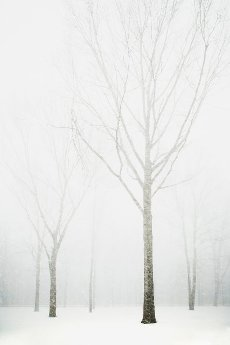 Trees in winter fog