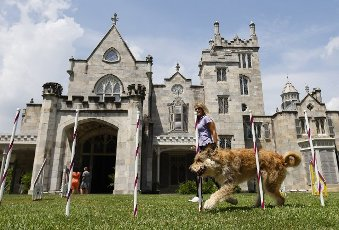 A Berger Picard named Chester runs through the agility course for competition at a press preview for the 145th annual Westminster Kennel Club Dog Show at the Lyndhurst Estate in Tarrytown, New York on Tuesday, June 8, 2021. Last years Westminster Dog Show was cancelled due to COVID-19 and next years will return again to Madison Square Garden. Photo by John Angelillo