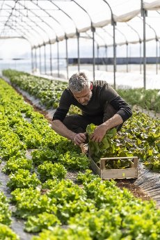 Male farmer harvesting lettuce in crate at greenhouse