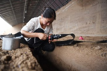(200812) -- LINXIA, Aug. 12, 2020 (Xinhua) -- Villager Zhu Huailan works at a greenhouse in Qianhan Village of Linxia County, Linxia Hui Autonomous Prefecture, northwest China\'s Gansu Province, Aug. 11, 2020. In recent years, local authorities in Linxia County have focused on relocation programs as parts of a poverty-alleviation campaign. Livestock breeding, greenhouses, rural tourism and cloth shoes making have been a cornerstone in providing villagers with a financial leg up following their relocation. (Xinhua\/Chen Bin