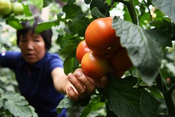(200812) -- LINXIA, Aug. 12, 2020 (Xinhua) -- Villager Han Guilan picks tomatoes at a greenhouse in Qianhan Village of Linxia County, Linxia Hui Autonomous Prefecture, northwest China\'s Gansu Province, Aug. 11, 2020. In recent years, local authorities in Linxia County have focused on relocation programs as parts of a poverty-alleviation campaign. Livestock breeding, greenhouses, rural tourism and cloth shoes making have been a cornerstone in providing villagers with a financial leg up following their relocation. (Xinhua\/Chen Bin